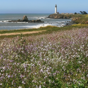 pigeon_point_lighthouse_and_wildflowers